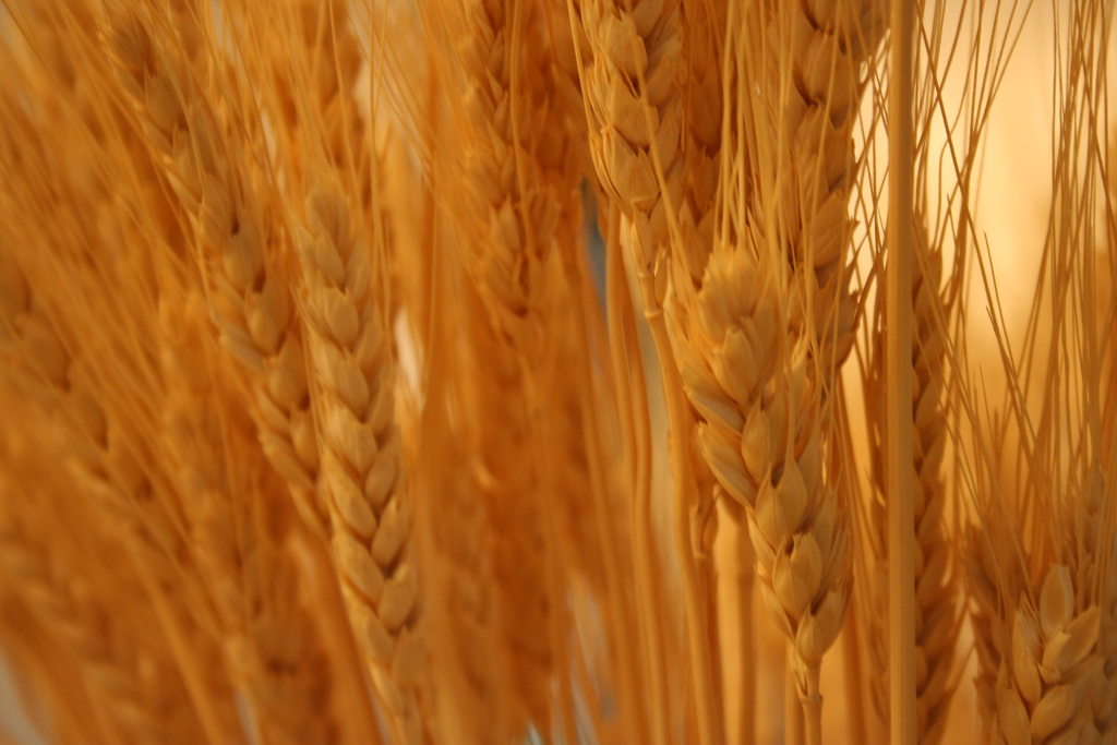 what s gluten doing in there in the wheat plant that is you