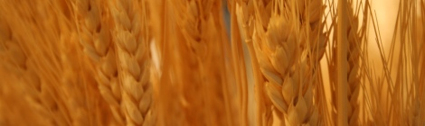 Wheat by mr.bologna on Flickr. Used under Creative Commons license.