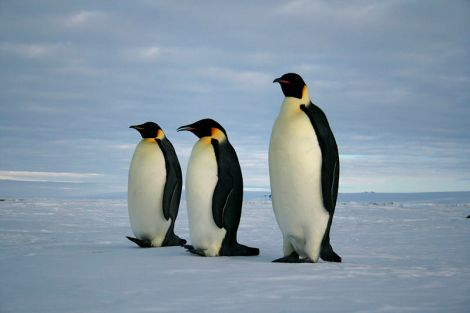 Emperor Penguins by lin padgham on Wikimedia Commons. Used under Creative Commons license.