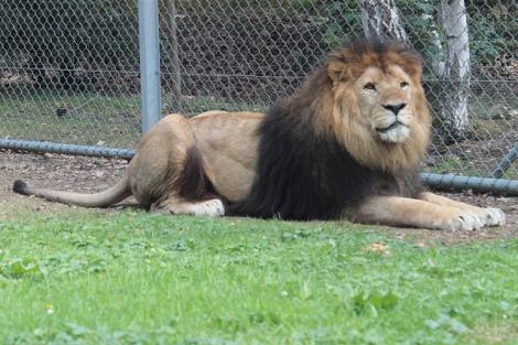 Lion by elPadawan on Flickr. Used under Creative Commons license. http://www.flickr.com/photos/elpadawan/6203891634/in/photolist-asdyQS-ekBnVR-8nqoYg-8wz7Jk-8wz8de-7Un2a2-9K4Ry6-8Uf5LU-9umovp-9K74H5-8RM7PP-bY5eHd-bY5had-bY5jEf-bXrboU-dxzegQ-bXr6sb-bXZasu-ek2yow-d86BCf-asaPZ6-9mSQZh-9jZCN9-9jWyNn-9jZD2J-9jWyLn-9jWzgz-9jWz5x-9jWzek-9jWyU4-d86BUy-9K8WRb-9K4Sdn-9K69m6-9K7EZu-9K7FeJ-9K4RPx-9wUXnd-9wUYP1-9wUYh7-9wRZ9M-9wRYdF-9wUYV1-9wRZRc-9wUYGL-9wUXHC-9wRYVD-9wRY4x-9wUXPu-d86CgC-9jZCKC/
