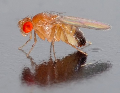 Drosophila melanogaster - side (aka) by André Karwath on Wikimedia Commons. Used under Creative Commons license. http://en.wikipedia.org/wiki/File:Drosophila_melanogaster_-_side_(aka).jpg