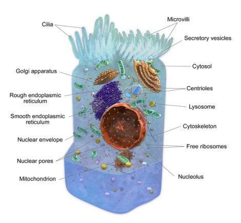Anatomy of a cell by BruceBlaus on Wikimedia Commons. Used under Creative Commons license. http://en.wikipedia.org/wiki/File:Blausen_0208_CellAnatomy.png