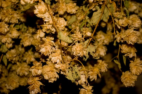 Hops by Zach Beauvais on Flickr. Used under Creative Commons license. http://www.flickr.com/photos/27861265@N08/4226977092/in/photolist-7rwn2o-bDLPiw-akT8Pg-akT8wZ-9z2XpR-9z2X1P-9Zudgv-9Zx5gw-bgUT3D-9z2XMi-9z2Ynk-9z2Y4k-bgUUSK-bgUKHP-bgUSC2-bgUH9Z-bgUJQT-bgULfK-bgUSQz-bgUGVe-bgUTXp-bgUGhK-bgUR2i-bgUJfx-bgUNzZ-bgUVGk-bgUQ9P-bgUKY6-bgUREz-bgUPA4-bgUVa2-bgULSv-bgUHCx-bgUS9v-bgUPmM-bgUM9X-bgUUrn-bgUQz8-bgUTGX-bgUK3Z-bgUMMK-bmQL7v-a3T94h-bDKbNK-8HNkPE-fUHevM-dcSSNw-8BAoUj-k5dgSA-gqoMgQ-7SdQAh