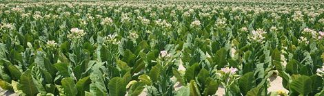 Tobacco by Kevinbercaw in Wikimedia Commons. Used under Creative Commons license. http://en.wikipedia.org/wiki/File:Tabacco_Field.jpg