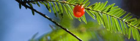 Yew berry and needles by Christopher Kuttruff on Flickr. Used under Creative Commons license. http://www.flickr.com/photos/94102126@N03/9431561129/in/photolist-fnrdwV-cxF5rb