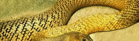 Oxyuranus microlepidotus by AllenMcC on Wikimedia Commons. Used under Creative Commons license. http://en.wikipedia.org/wiki/File:FierceSnakeOlive.jpg